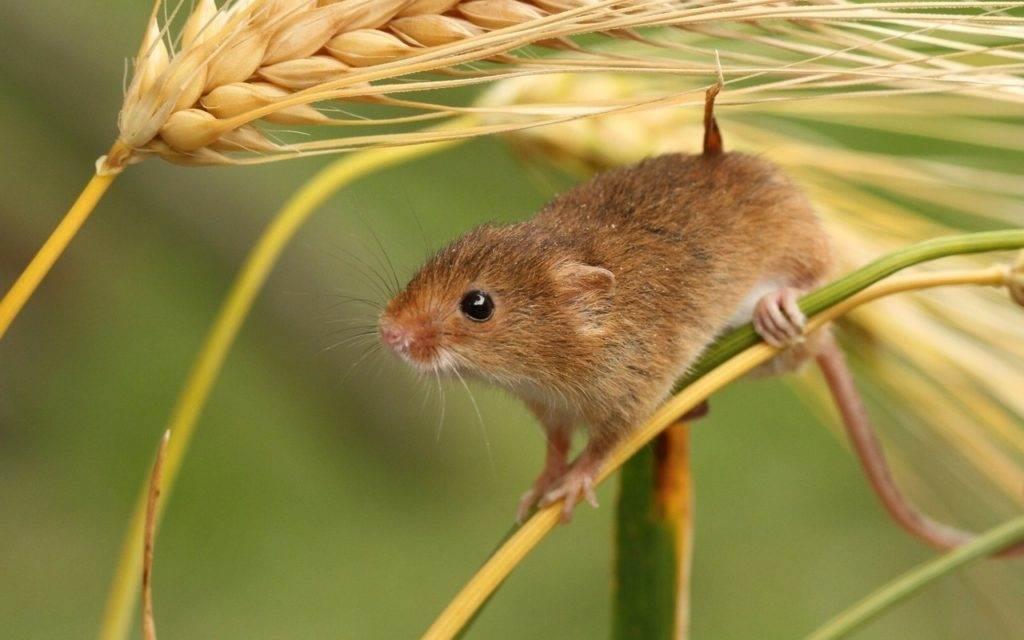 мышь в поле