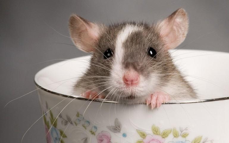 сонник мыши