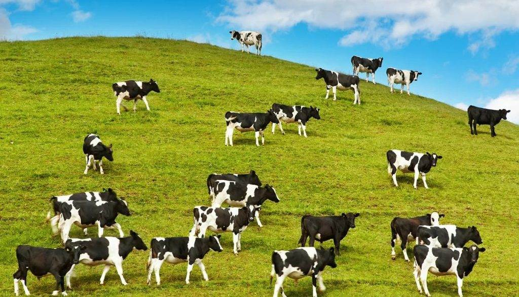 приснилась корова