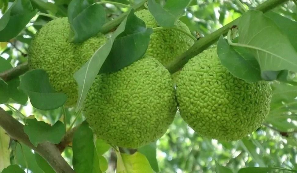 """Маклюра """"Адамово яблоко"""" лечебные свойства"""